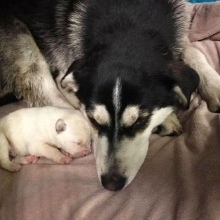 """Transport Help Needed""  This sweet Momma and her 1 surviving pup will be coming into our care. Is there anyone coming from Saskatoon to Regina either Sunday or Monday? (Or any day after) and wouldn't mind helping us out?  Momma & pup have a ride to"