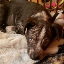Age: July 27, 2019 (10 weeks) Weight: 5.35kgs (11.8lbs) Spayed/neutered: Too young Up to date on age appropriate Vaccinations: Yes Kennel trained: Working on it House trained: Working on it  Best breed guess: Blue Heeler X Being fostered in: Regina Adopti