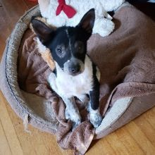 Age: July 27, 2019 (10 weeks) Weight: 6.35kg (14lbs) Spayed/neutered: Too young Up to date on age appropriate Vaccinations: Yes Kennel trained: Working on it House trained: Working on it  Best breed guess: Blue Heeler X Being fostered in: Regina Adoption