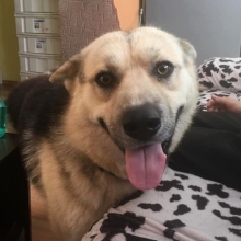 Name: Link Gender: Male Age: About 1 year  Weight: 27 kg Neutered: Booked for surgery on November 20 Appropriate vaccinations: Yes  Kennel trained: Working on it House trained: Working on it Best guess breed: German shepherd, husky mix  Being fostered in: