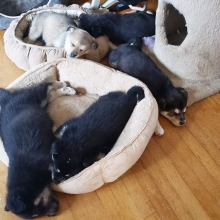 Just a big pile of puppies 💕 These 5 cuties just arrived in the rescue. Thank you to their wonderful foster mom who travelled many hours yesterday to pick these fuzz balls up. Stay tuned for names and their official announcement.