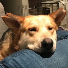 Archer loves to snuggle after his walks,  he walks very well on his leash and always enjoys playing in the park.  Archer is still looking for his forever home. Applications can be found on our website.
