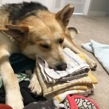 What is clean laundry? -Archer  Archer is still available for adoption. Applications for this big, fuzzy guy can be filled out on our website <a href=http://prairieskydogrescue.ca target=_blanc>http://prairieskydogrescue.ca</a>