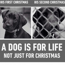 January is the busiest time for shelters. We want to give all our rescues wonderful homes but dogs are a lifetime commitment, not just a Christmas gift. Please gift responsibly this Christmas. 🎄⛄️