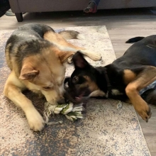 Happiness is sharing your favourite toy with your foster sister🎄💕 Applications for Archer can be filled out on our website <a href=http://prairieskydogrescue.ca target=_blanc>http://prairieskydogrescue.ca</a>